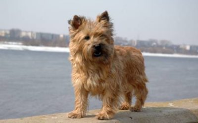 Cairn Terrier at the beach