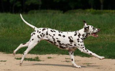 Dalmatian_Running